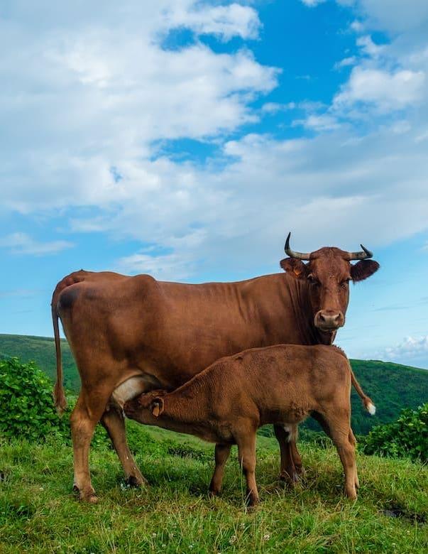 Raca Ramo Grande Azores Meet Bio Acores A influencia da raca