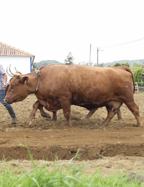 bovino ramo grande Acores